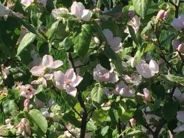 Detalles de las flores del membrillero