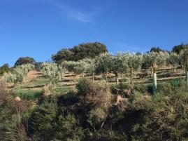 Imagén de ejemplares de olivos