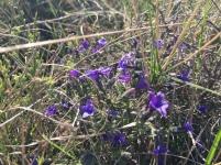 Flores silvestres de la zona de Santo Tornil