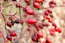 Frutos maduros de los escaramujos