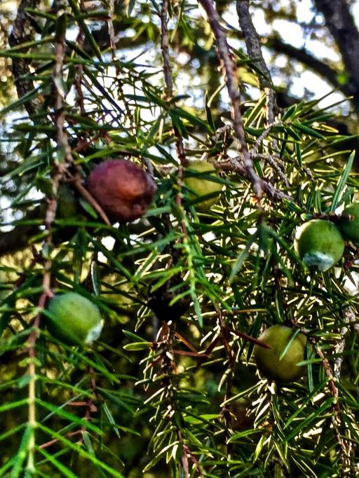 Frutos del chinebro